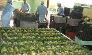 A empresa agroindustrial Ceballos exporta para a Europa abacaxi de primeira qualidade.